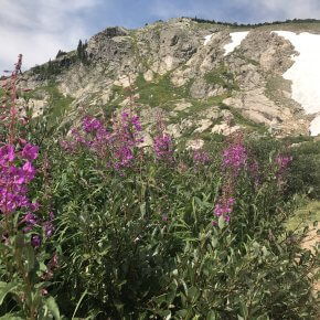 Flowers at Saint Mary's Glacier, Idaho Springs, CO