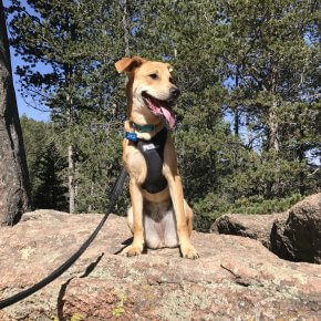 Penny hiking to Devils Head Fire Tower - Colorado Adventure Dog